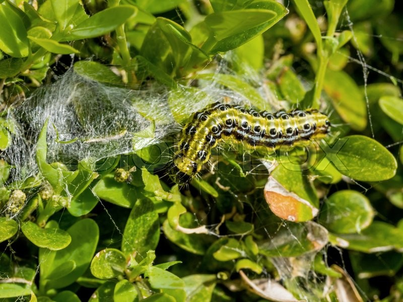 Stock image of 'cydalima perspectalis caterpillar on a buchsbaumim garden eating all the leaves away.'