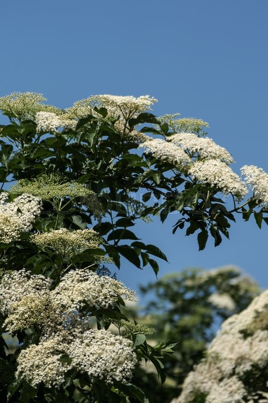 Stock image of 'Blooming flowers of elderberry on a hollunderstrauch'