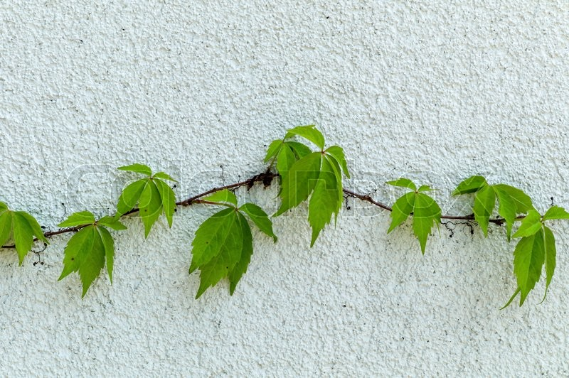 Stock image of 'a vine of ivy on a brick wall. symbol photo for growth and strength'