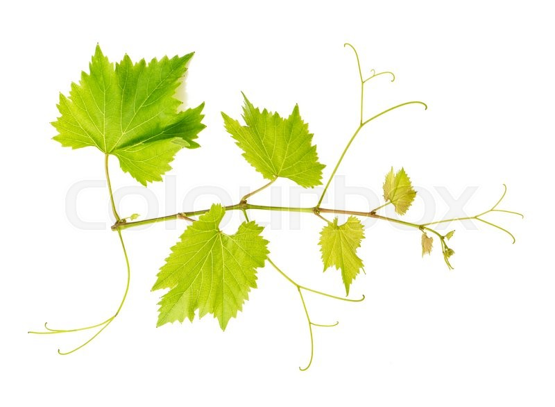 Stock image of 'Grape vine leaves isolated on white background. Vine branch. Nature object'