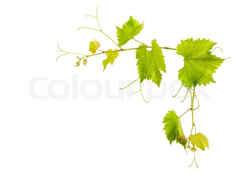 Stock image of 'Grape vine leaves border isolated on white background'