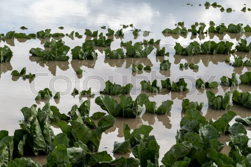 Stock image of 'after a heavy rain during a storm, the plants were flooded in a field'
