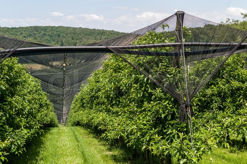 Stock image of 'about plantations of fruit nets was hung against storms and hail. protect fruit and plants from severe weather.'