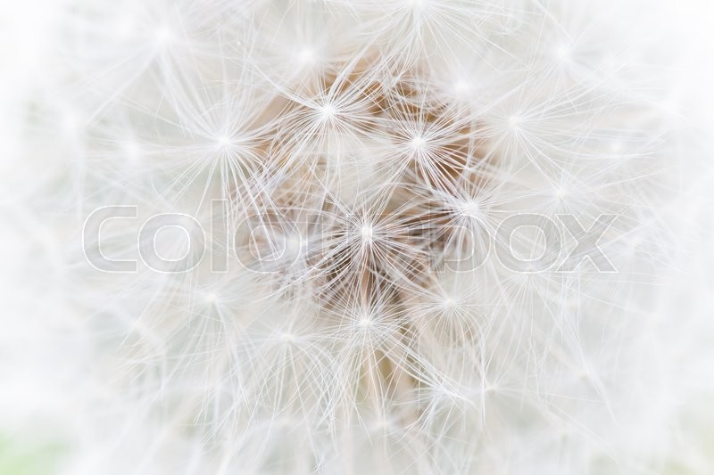Stock image of 'fluffy white dandelion close up photo abstract'