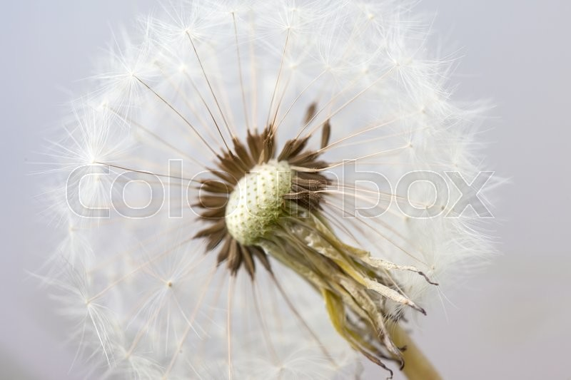 Stock image of 'seeds of fluffy white dandelion abstract macro background'