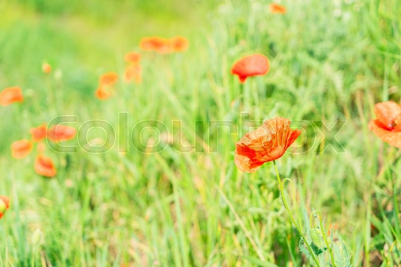 Stock image of 'Summer red poppy filed with fresh green grass'