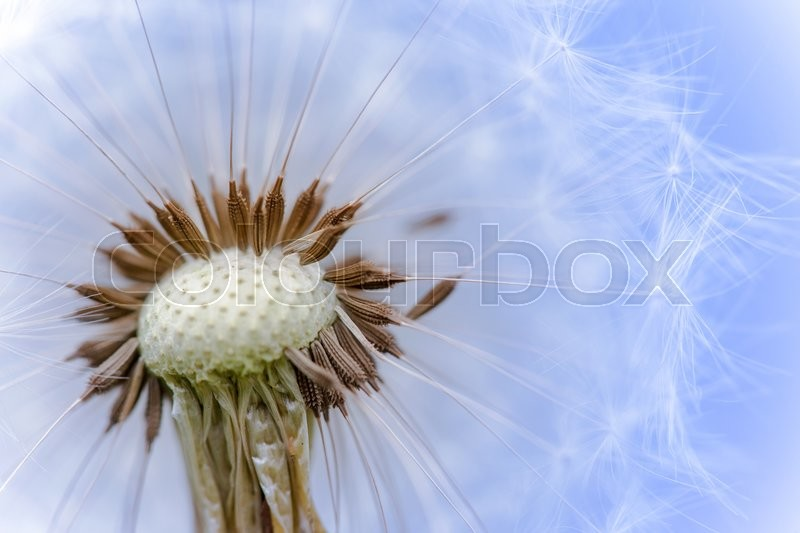 Stock image of 'the head of fluffy dandelion seeds macro photo'