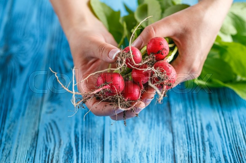 Stock image of 'Organic vegetables. Woman hands with freshly harvested vegetables. Horse radish'