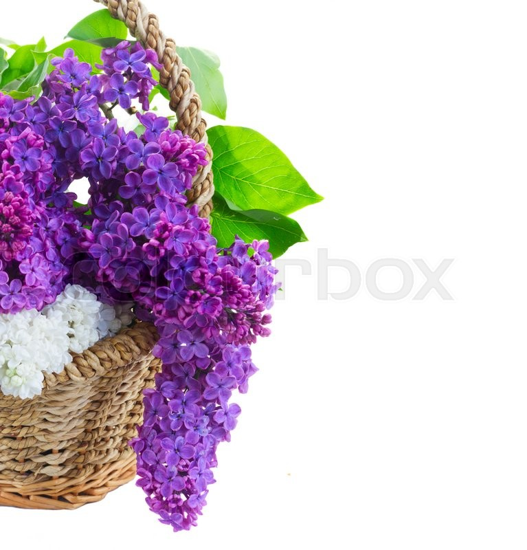 Stock image of 'Bunch of fresh lilac flowers in basket close up isolated on white background'