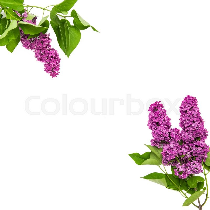 Stock image of 'Lilac flowers on white background. Fresh spring blooms'