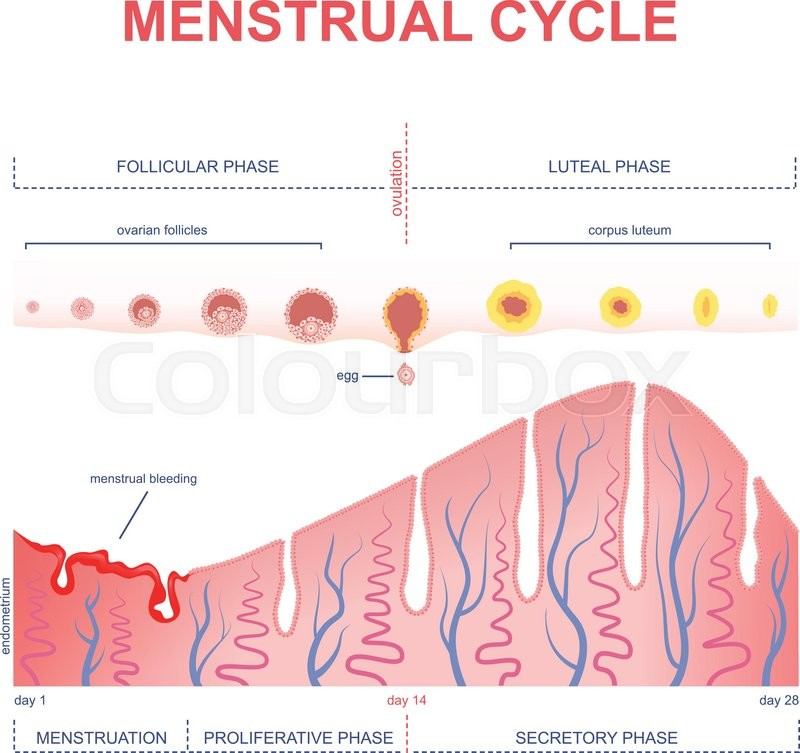 Ovarian cycle phase, changes in the endometrium, uterine cycle ...