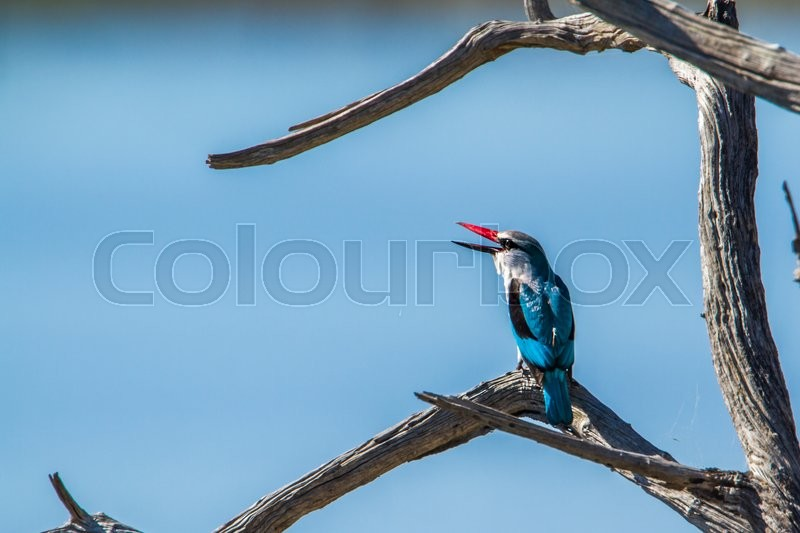 Stock image of 'Woodland kingfisher in Kruger National park, South Africa'
