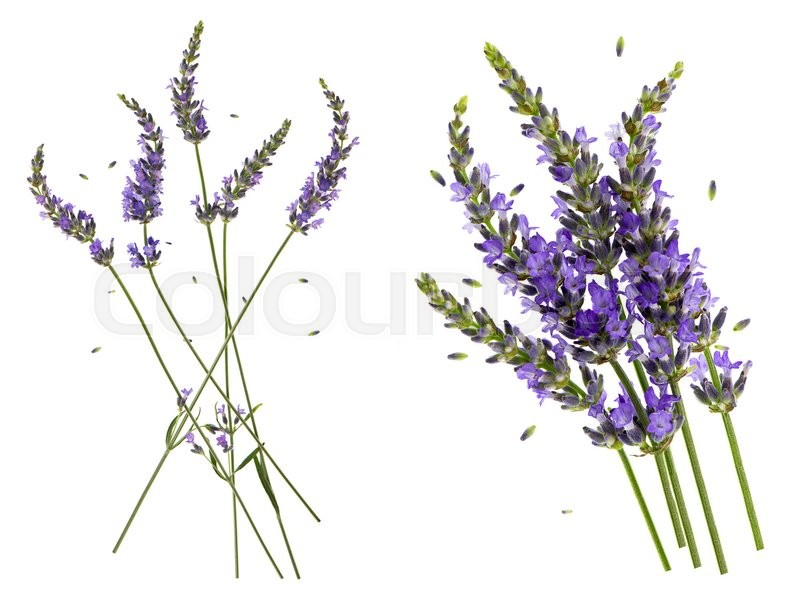 Stock image of 'Lavender flowers isolated on white background. Floral nature object'