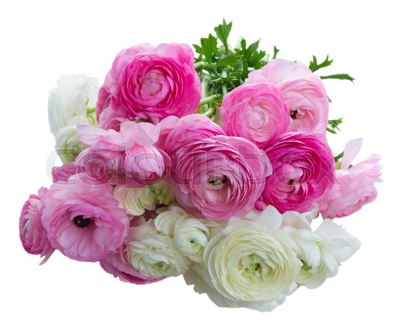 Stock image of 'Pile of pink and white ranunculus flowers isolated on white background'