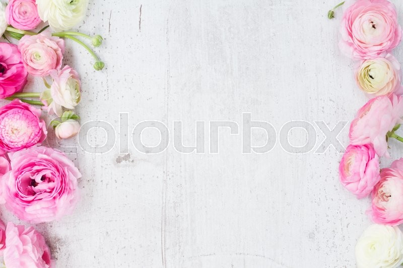 Stock image of 'Pink and white ranunculus flowers on white wooden background flat lay scene'