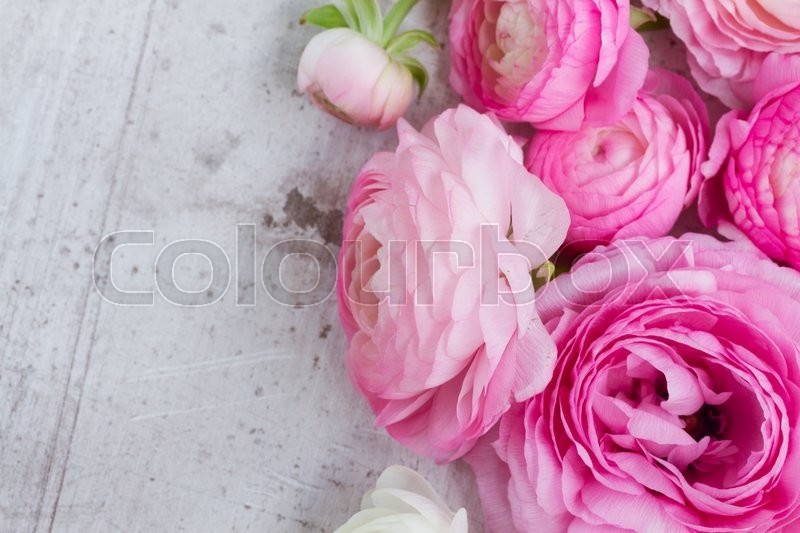 Stock image of 'Pink and white ranunculus flowers close up on white wooden background'