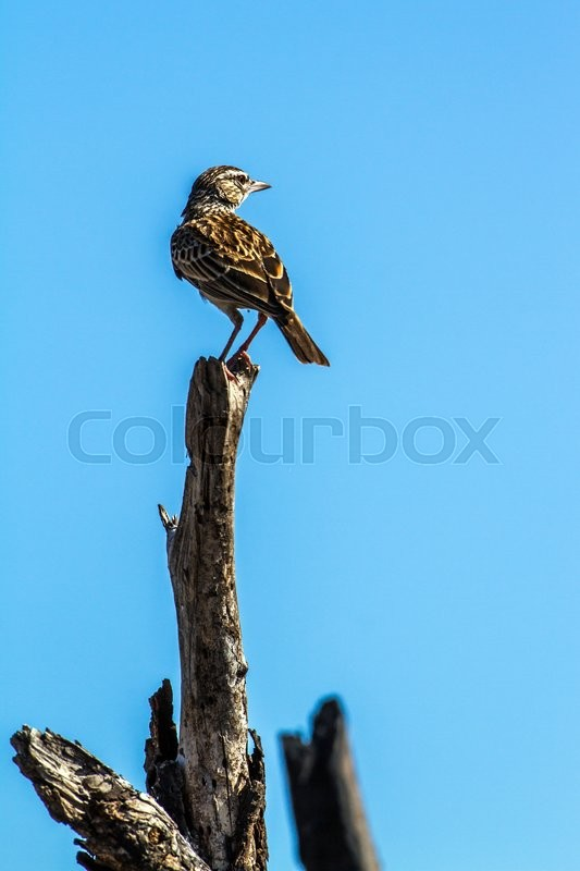 Stock image of 'Sabota Lark in Kruger National park, South Africa'