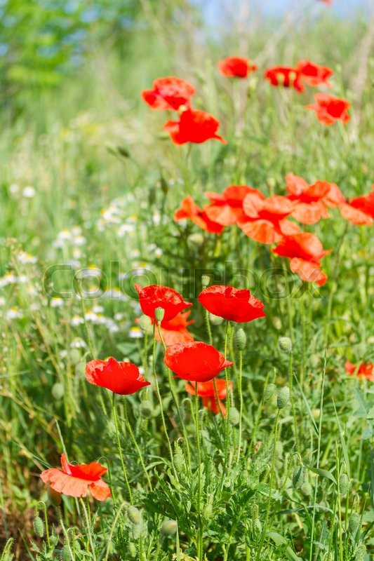 Stock image of 'view of summer red poppy filed with fresh green grass'
