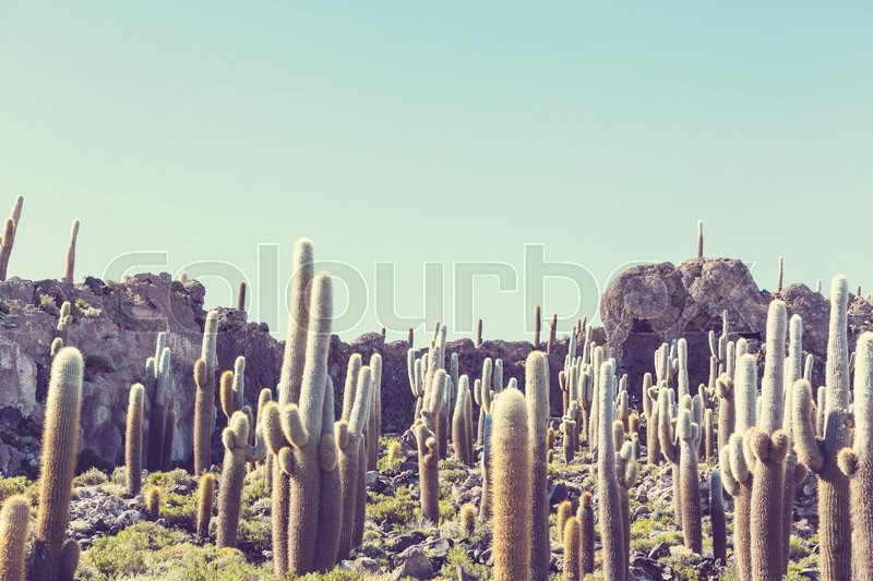 Stock image of 'Cactuses on the Bolivian Altiplano'