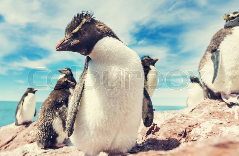 Stock image of 'Rockhopper penguins in Southern Argentina'