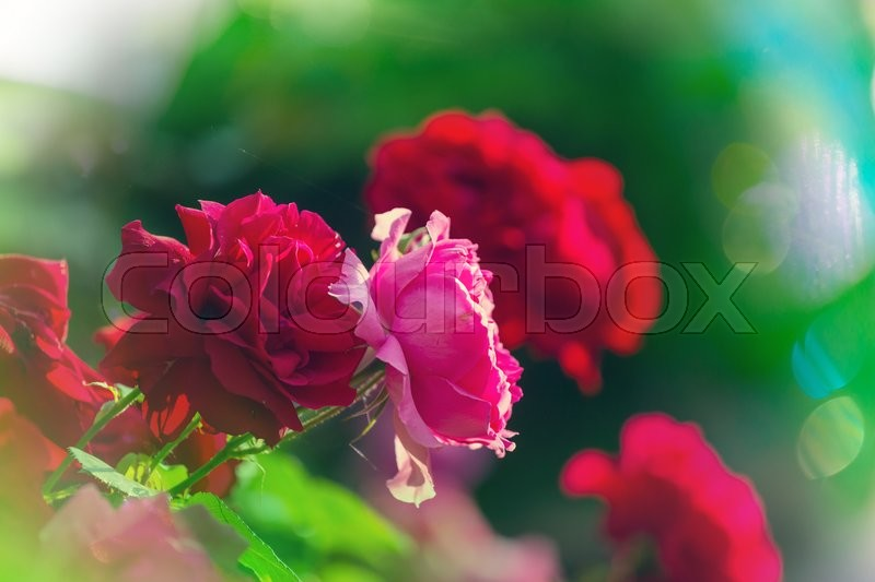 Stock image of 'Rose'
