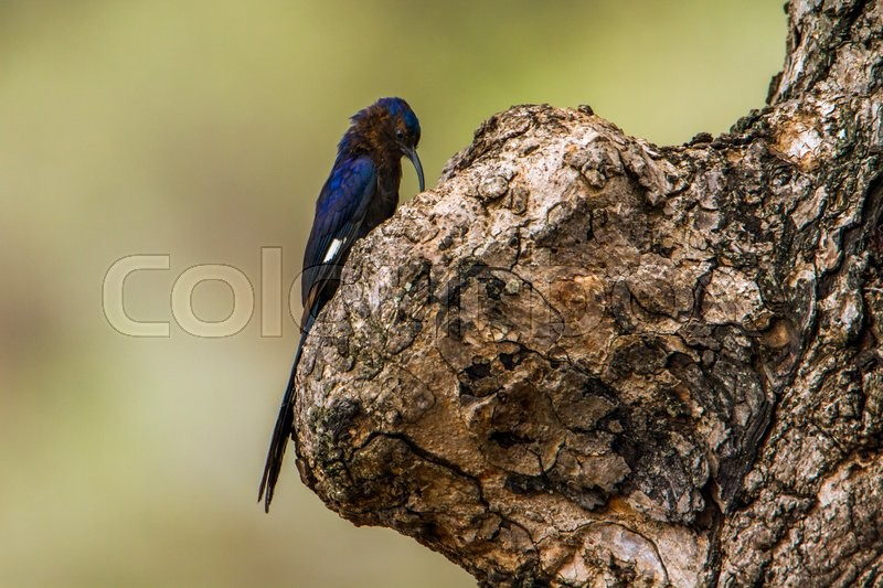 Stock image of 'Common Scimitar-bill in Kruger National park, South Africa'