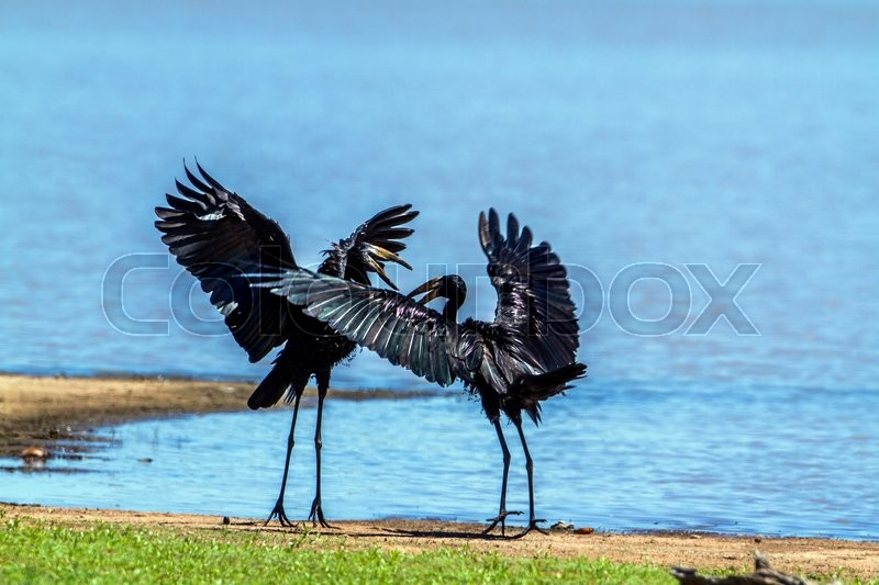Stock image of 'African openbill in Kruger National park, South Africa'