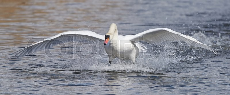 Stock image of 'Mute swan landing in water in its habitat'