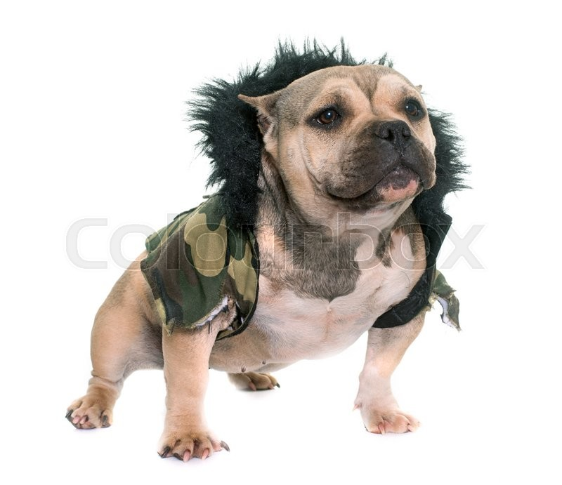 Stock image of 'dressed puppy american bully in front of white background'