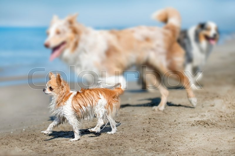 Stock image of 'little chihuahua standing on the beach, in France'