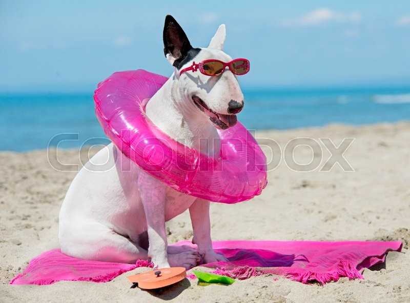 Stock image of 'bull terrier standing on the beach, in France'