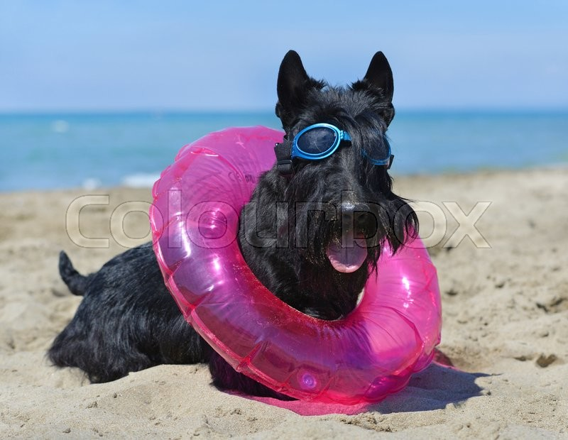 Stock image of 'scottish terrier standing on the beach, in France'