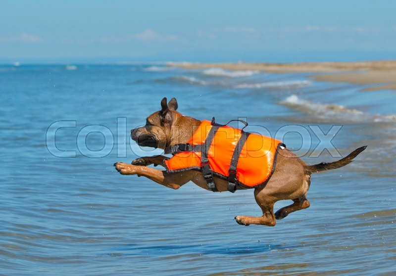 Stock image of 'staffordshire bull terrier jumping in the sea, in France'