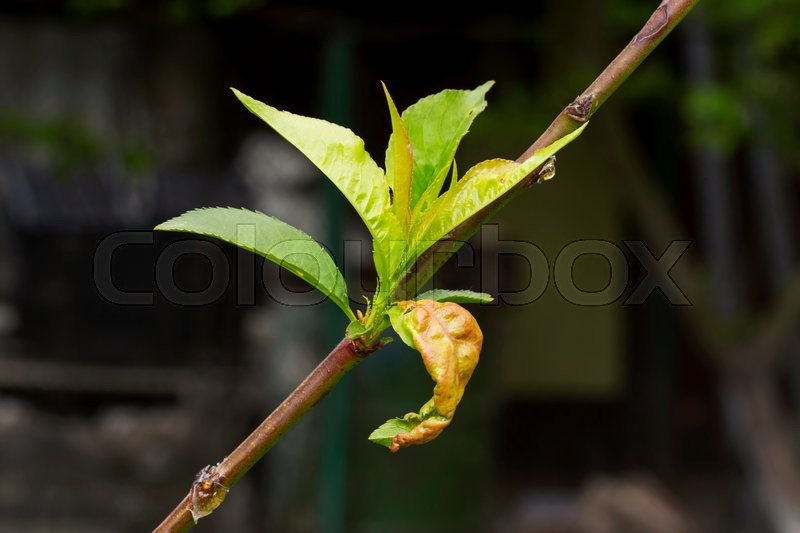 Stock image of 'disease on the leaves of a fruit tree'