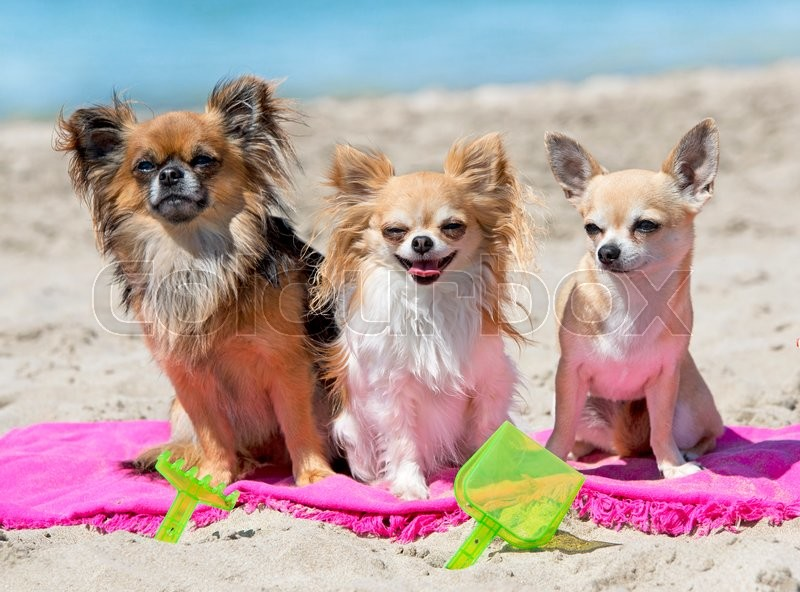 Stock image of 'dogs standing on the beach, in France'