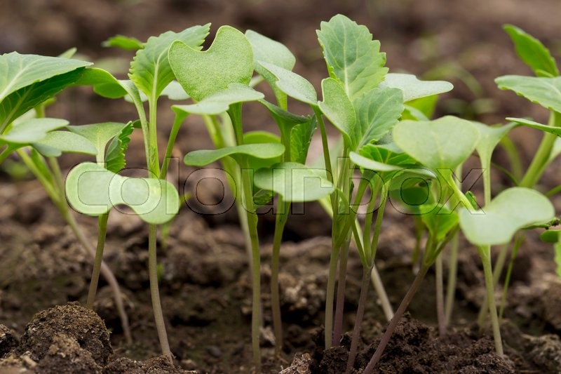 Stock image of 'the green sprout cabbage in a soil'
