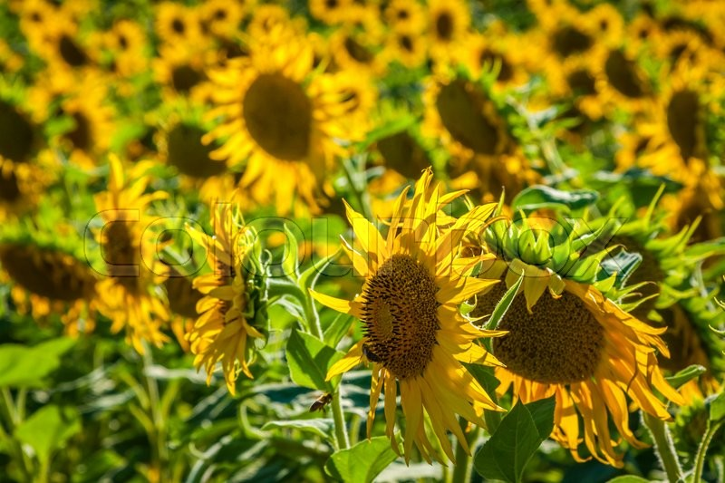 Stock image of 'Field of giant sunflowers on a sunny summer day in France'
