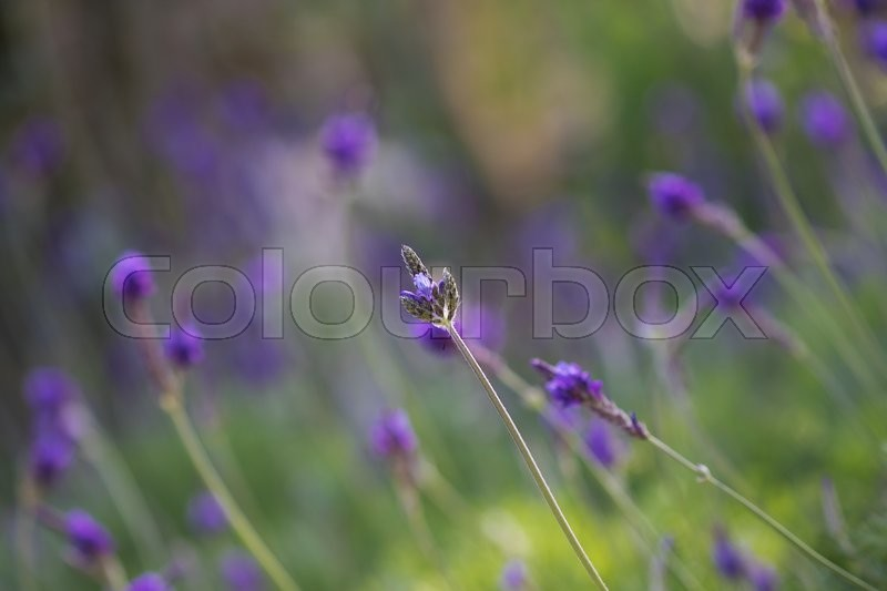 Stock image of 'lavender flower and blurred background'