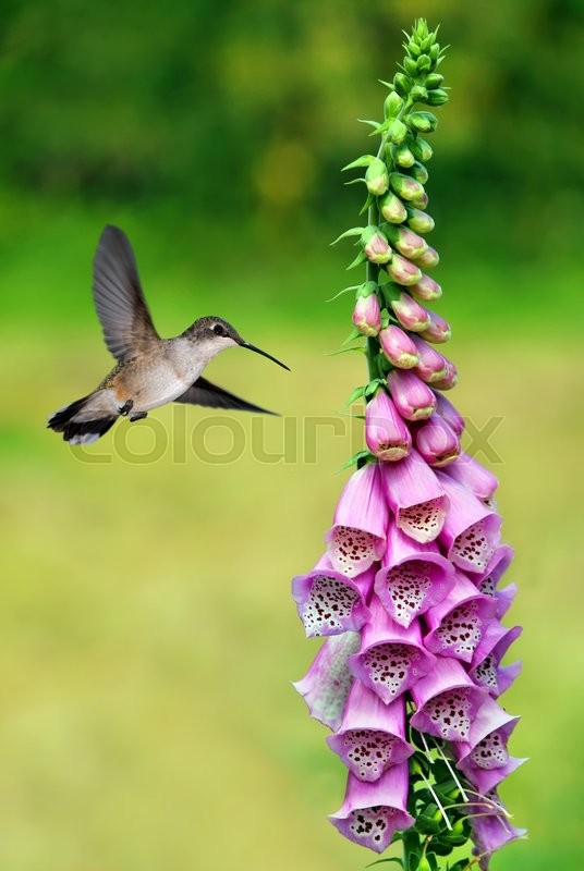 Stock image of 'Hummingbird with purple flower over green background '