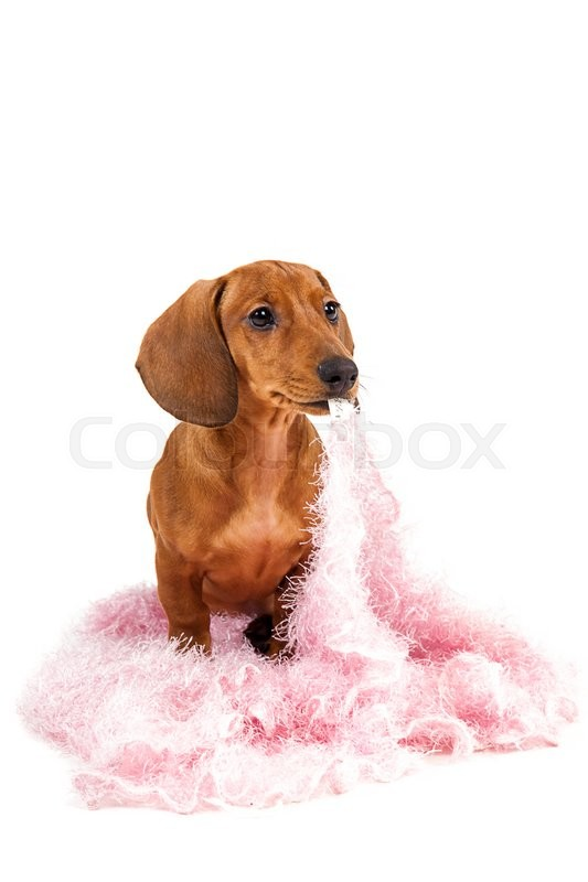 Stock image of 'Red dachshund puppy isolated on white background.'
