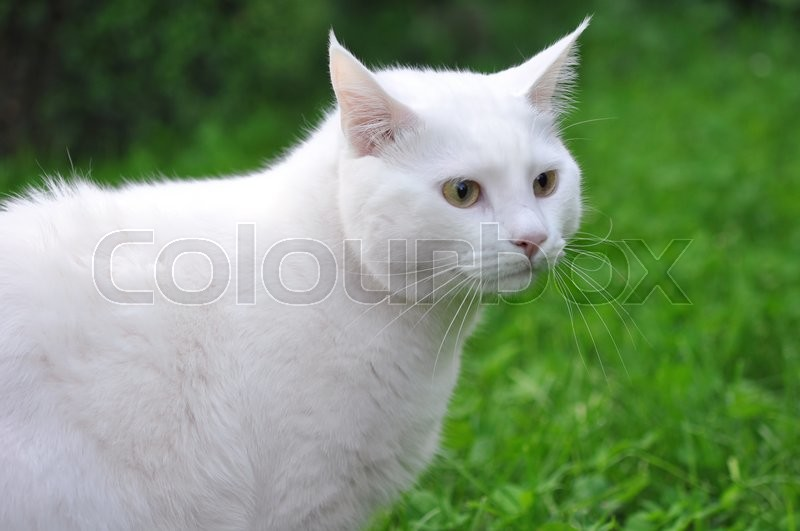 Stock image of 'White cat on green grass meadow'