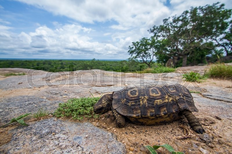 Stock image of 'Leopard tortoise  in Kruger National park, South Africa'