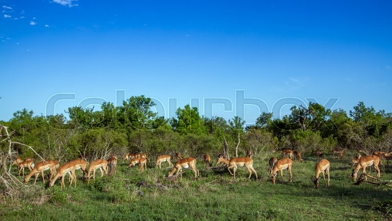 Stock image of 'Impala in Kruger National park, South Africa'