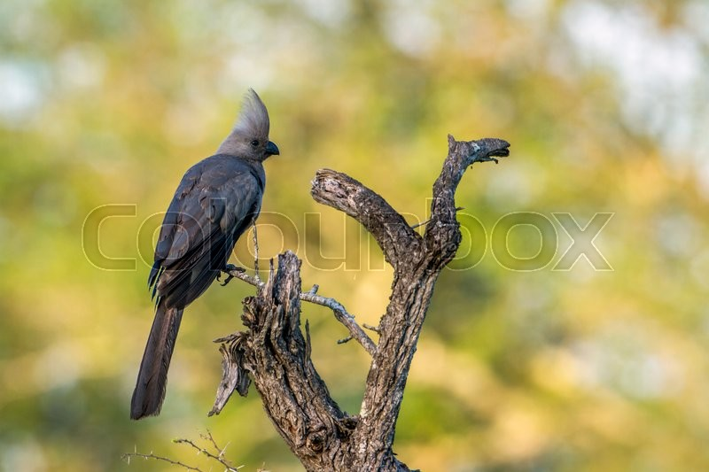 Stock image of 'Grey go-away bird in Kruger National park, South Africa'
