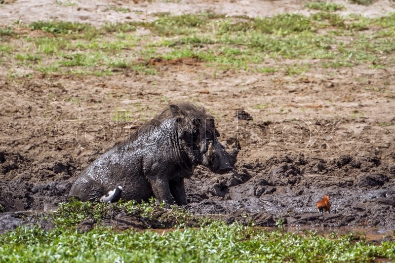 Stock image of 'Common warthog in Kruger National park, South Africa'