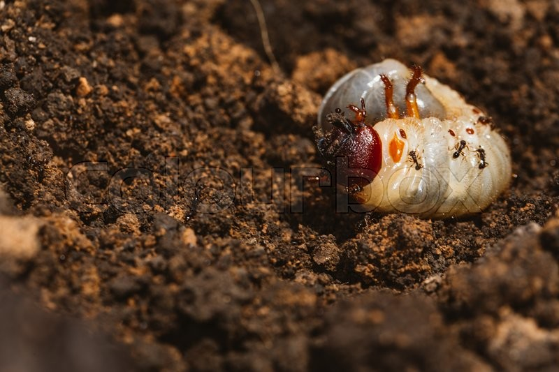 Stock image of 'The larvae of the May beetle with ants'
