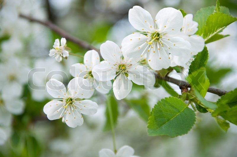 Soft White Close Up Cherry Trees Stock Image Colourbox
