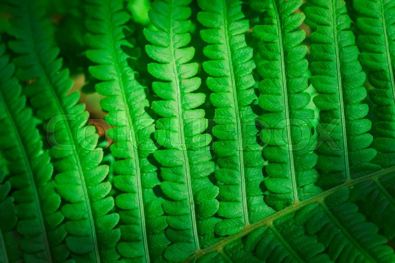 Stock image of 'fresh young green fern leaf close up.'