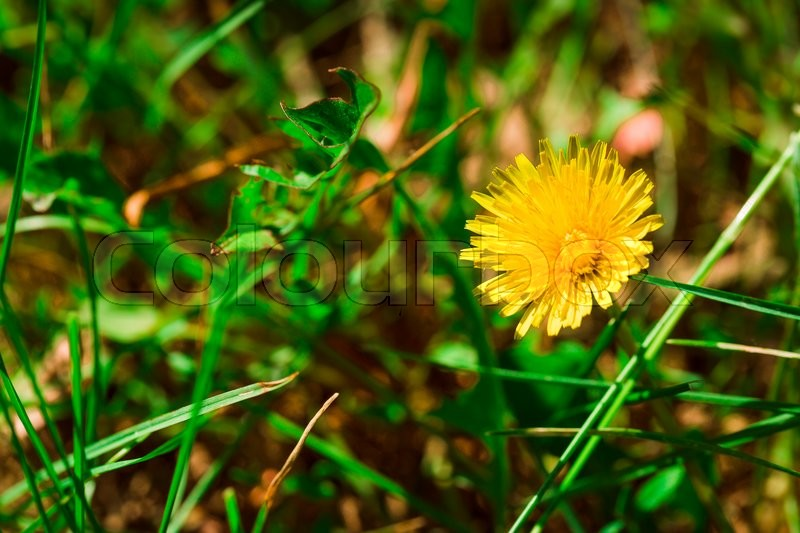 Stock image of 'some blooming dandelion on blurred green background.'