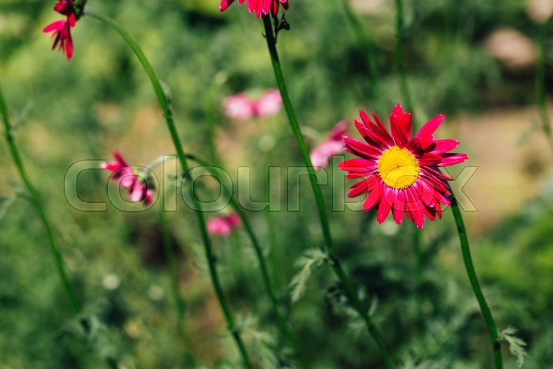 Stock image of 'Decorative red daisy flower on a green background.'